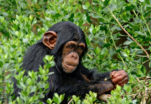 Foto op Aluminium Aap Chimp