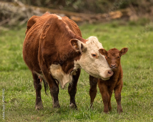 Tuinposter Koe Momma Cow and Calf