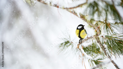 Papel de parede  Great tit in winter