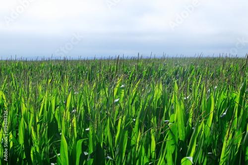 фотография  広大なトウモロコシ畑