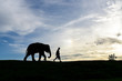 silhouette baby elephant walking follow a man