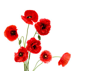 Red poppies (Binomial name: Papaver rhoeas), (common names: corn poppy, corn rose, field poppy, Flanders poppy, red weed, coquelicot, headwark) on white background with space for text.