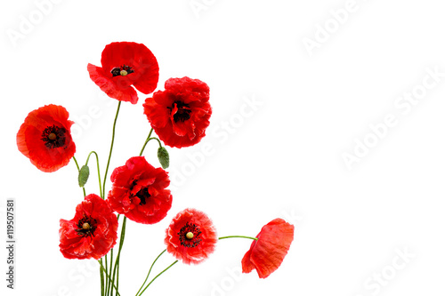 Montage in der Fensternische Mohn Red poppies (Binomial name: Papaver rhoeas), (common names: corn poppy, corn rose, field poppy, Flanders poppy, red weed, coquelicot, headwark) on white background with space for text.
