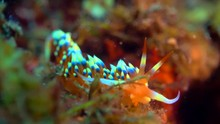 Colorful Nudibranch Moving