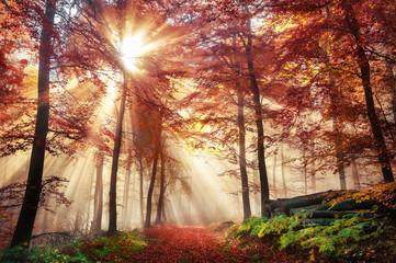 Fototapeta Faszinierende Lichtstimmung in einem bunten Wald im Herbst bei Sonnenschein im Nebel
