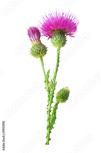 Purple flower of carduus with green bud isolated on a white background Fototapet