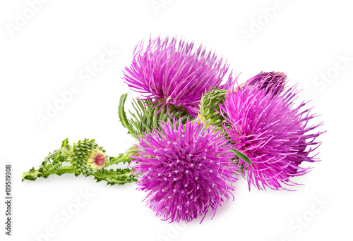 Fotografie, Tablou Purple flower of carduus with green bud isolated on a white background