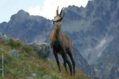 Photo  Tatra Chamois ( Rupicapra rupicapra tatrica )