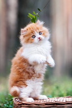 Adorable Red And White Kitten Posing In The Forest