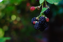 Blackberries Ripening And Matu...