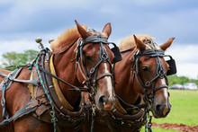 Draft Horses In Full Harness.
