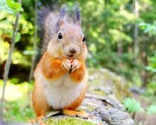 Squirrel Eating A Nut Closeup