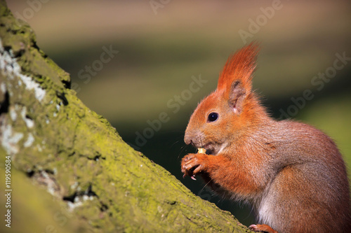 Aluminium Prints Squirrel Cute little red squirrel on the branch