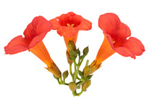 Trumpet Creeper Flower