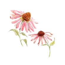 Watercolor Pink Echinacea Flower