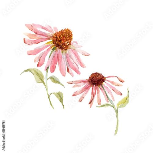 Watercolor pink echinacea flower Wall mural