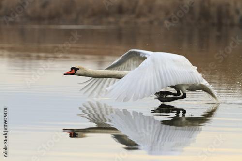 Poster Cygne Mute swan running on water