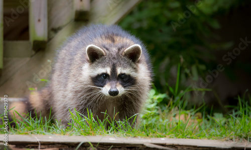 Fotografie, Obraz Raccoon (Procyon lotor(s) in the woods at a feeder