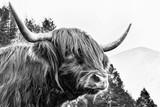 Szkocka wołowina - 119638527