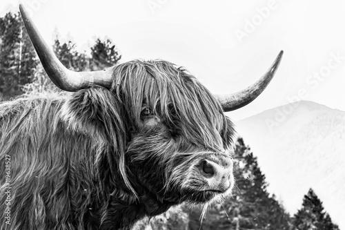 Fototapety, obrazy: Manzo scozzese