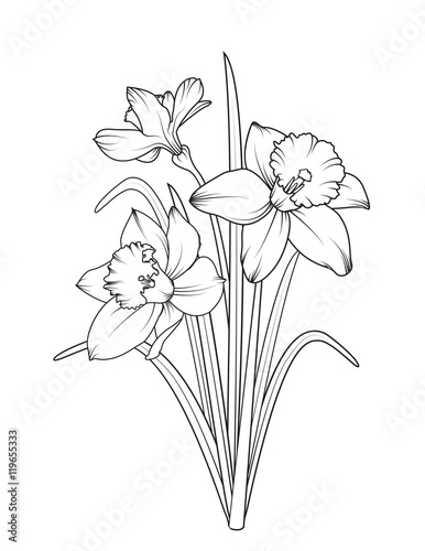 Photographie  Daffodils narcissus isolated on white background