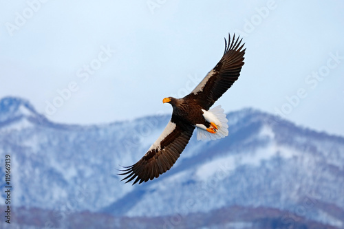 Poster Aigle Flying rare eagle. Steller's sea eagle, Haliaeetus pelagicus, flying bird of prey, with blue sky in background, Hokkaido, Japan. Eagle with nature mountain habitat. Winter scene with snow and eagle.