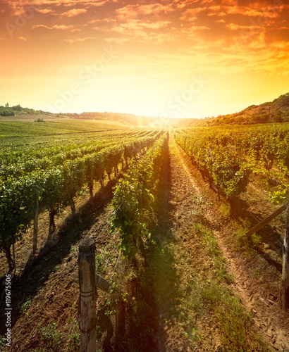 Tuinposter Wijngaard Rows of vines on sunrise