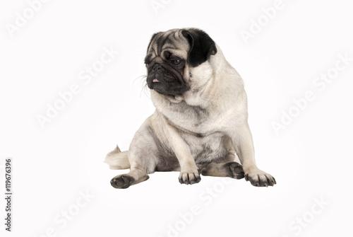 Poster Dog zittende hond, mopshond, heeft er genoeg van en steekt tong uit