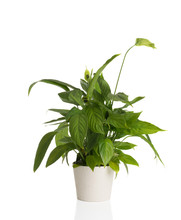 African Peace Lily