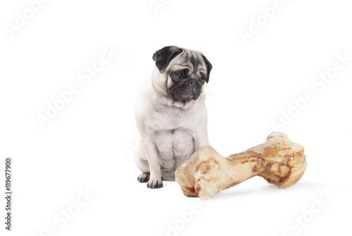 Poster Dog schattige hond, mopshond, zit en kijkt naar groot bot, geisloeerd op witte achtergrond