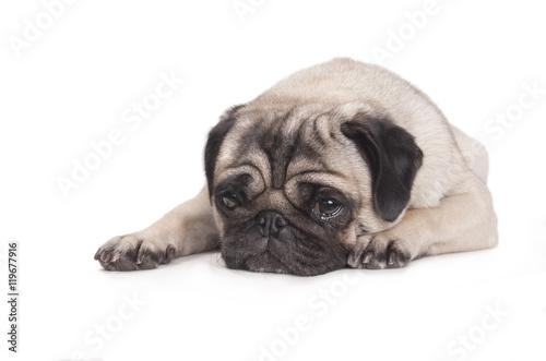 Poster Dog hond, mopshond, ligt op buik met kop op vloer kijkt verdrietig en huilt, geisoleerd op witte achtergrond
