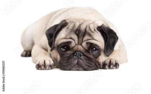Door stickers Dog close up van lief schattig hondje, mopshondje, dat languit op vloer ligt geisoleerd op witte achtergrond