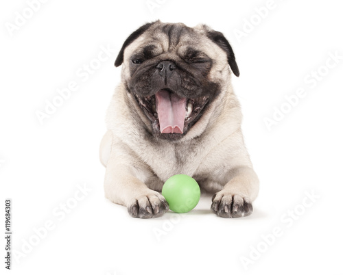 Poster Dog vrolijke blije hond, mopshond, speelt liggend met groene bal, geisoleerd op witte achtergrond