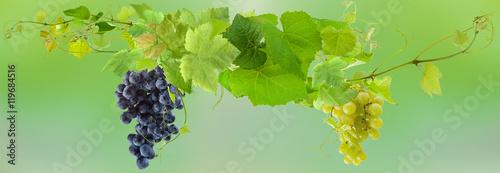 kisci-winogron-i-galezi-winorosli-zielone-tlo