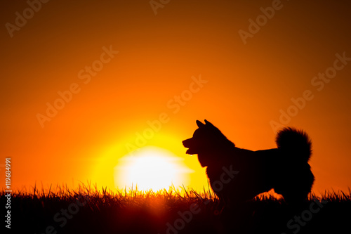 Stickers pour porte Orange eclat Silhouette of a Akita Inu dog at golden sunset.
