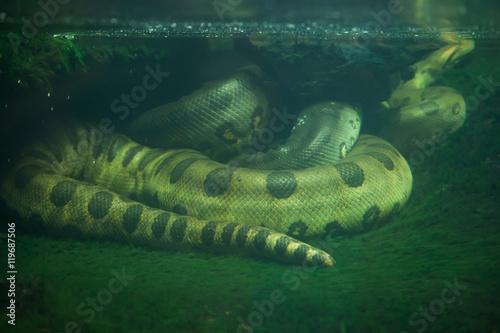 Green anaconda (Eunectes murinus). Wallpaper Mural