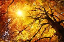 Majestätische Buche Im Herbst...