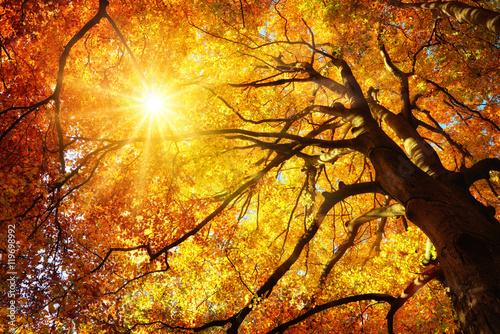 Fotografie, Obraz  Majestätische Buche im Herbst: der Baum wird von der Sonne warm durchleuchtet