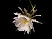 Königin Der Nacht Selenicereus Grandiflorus