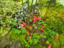Red Frogs Ginger