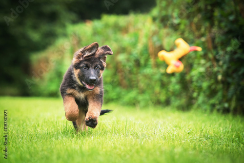 Stampa su Tela German shepherd puppy playing with a toy