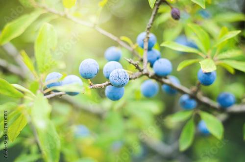 Valokuva  Sloe berries, growing on a bush