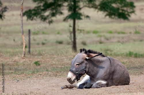Photo lazy donkey