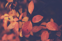Branch With Orange Leaves, Autumn Background