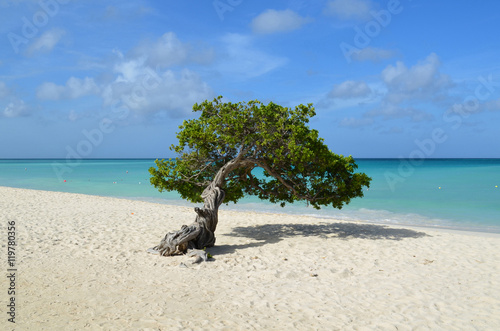 фотография Pristine Divi Divi Tree in Aruba