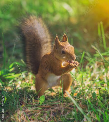 Tuinposter Eekhoorn Red squirrel eating hazelnut. Sciurus vulgaris.