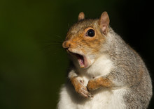 Portrait Of Red Squirrel Yawning