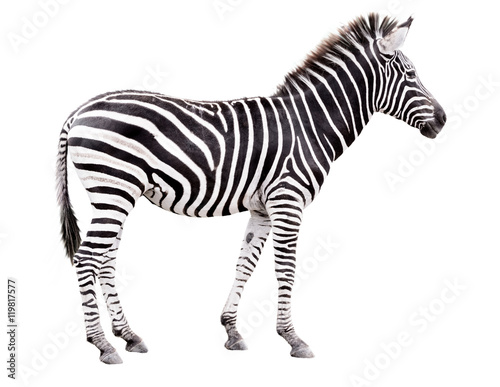 Aluminium Prints Zebra Young male zebra isolated on white background