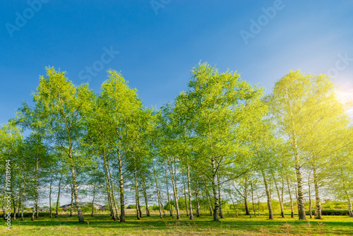 Cadres-photo bureau Bosquet de bouleaux Birch tree grove.