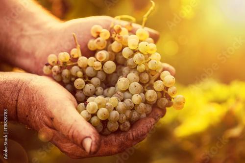 Fotografía  Farmers hands holding harvested grapes